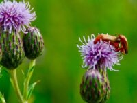 Deborah's Thistles and Soldier Beetles