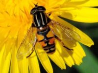 Phil's Hoverfly (Heliophilus)