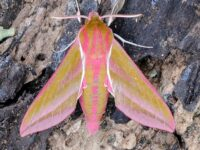 Phil's Elephant Hawk Moth