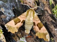 Phil's Lime Hawk Moth