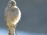 Phil's Kestrel