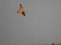 Debbie's curlew in flight
