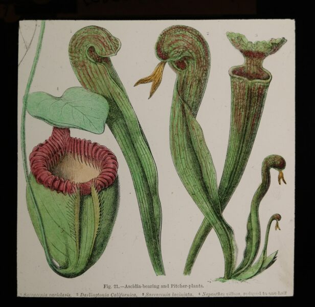 Glass Slide showing an illustration of Ascidia-bearing and Pitcher plants