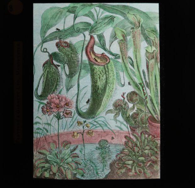 Glass Slide showing an illustration of Sarracenia plants