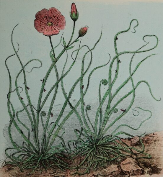 Glass Slide showing an illustration of a Fly-Catcher plant