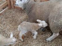 two lambs with their mother