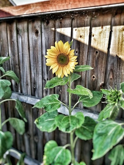 Large sunflower against a fence.