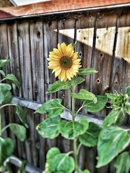 Image of a sunflower growing in a garden or patio