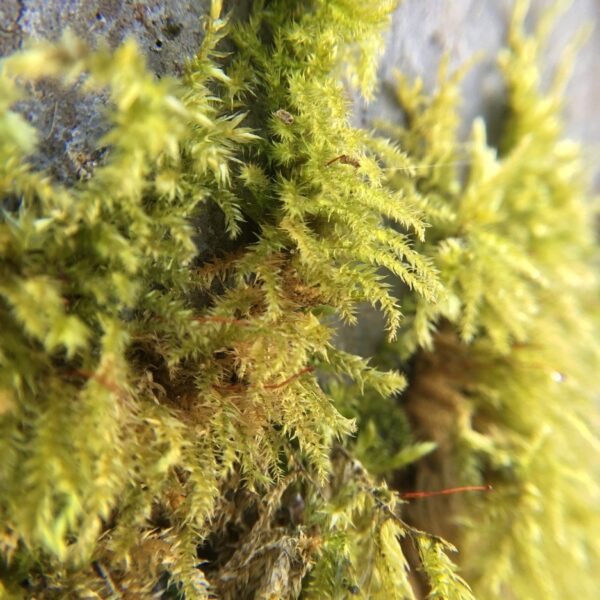 close up of feathery moss fronds