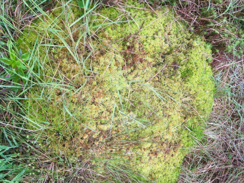 Photograph of Sphagnum moss