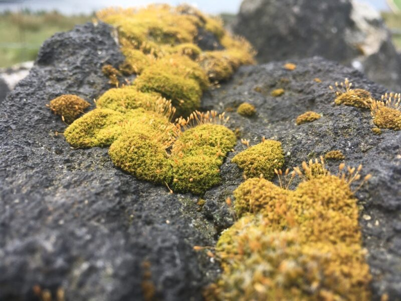 Photograph of a moss growing on a stone wall.