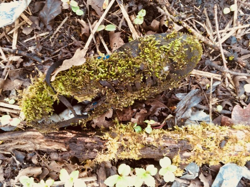 A discarded shoe enveloped with mosses, found in a boggy area under trees in Snipe Clough