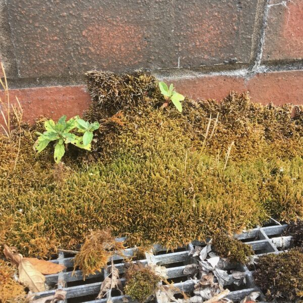 possibly 'Cratoneuron filicinum' a calcium loving moss found in a car park.